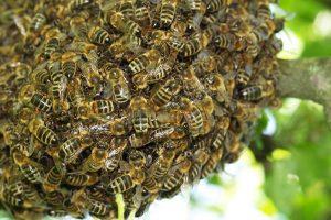 Bee Removal Anthem AZ
